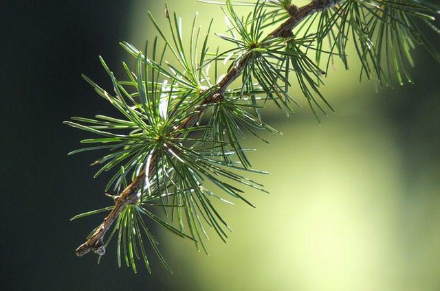 miód naturalny z drzew iglastych
